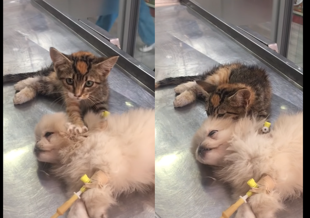 A Friend in Knead? Kitten Massages Rescue Clinic Companion