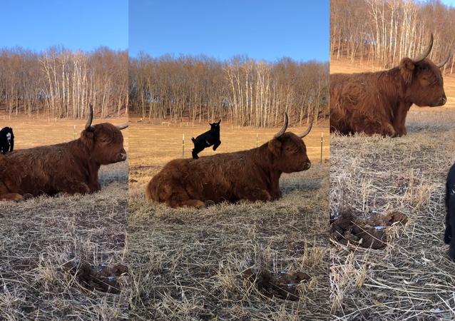 Playful Dwarf Goat Enjoys Playtime on Stoic Scottish Highland's Back