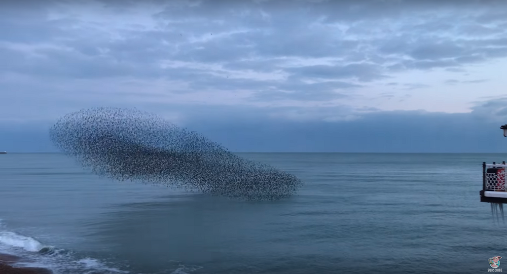 Thousands of Starlings Come Home to Roost in Brighton Murmuration