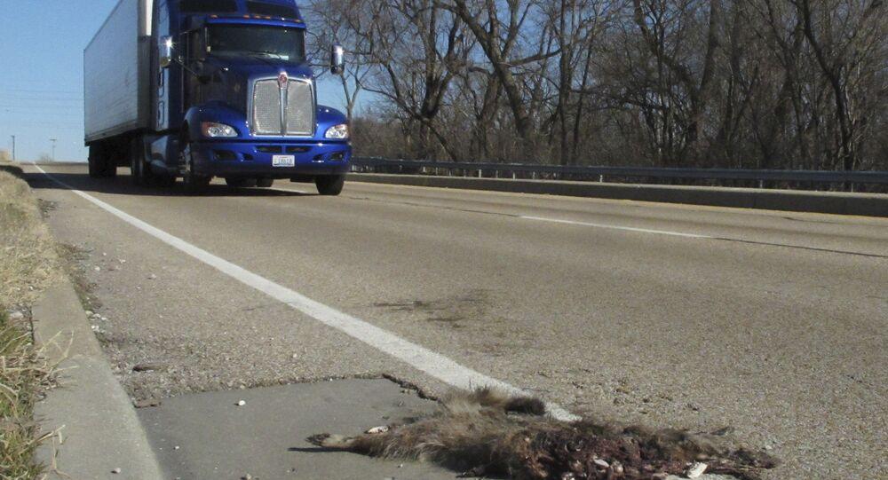 In this photo taken Jan. 4, 2012, a tractor-trailer rumbles by a roadkill raccoon near Caseyville in southwestern Illinois.