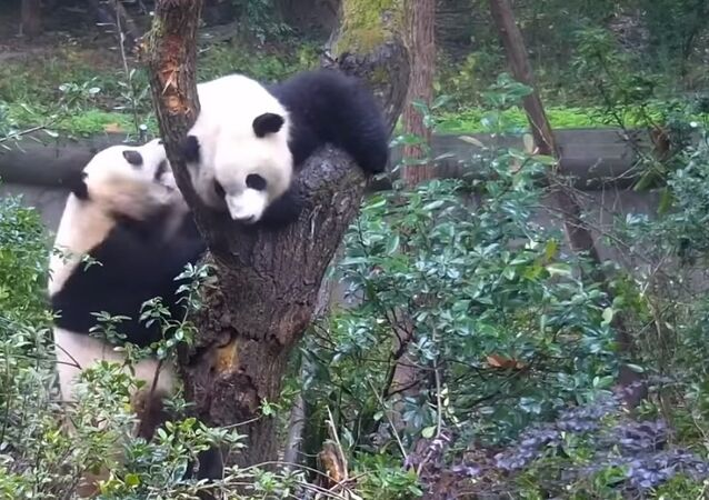 Two Pandas Fight For a Tree