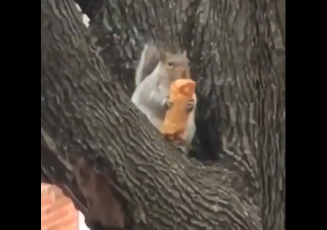 Squirrel eats eggroll
