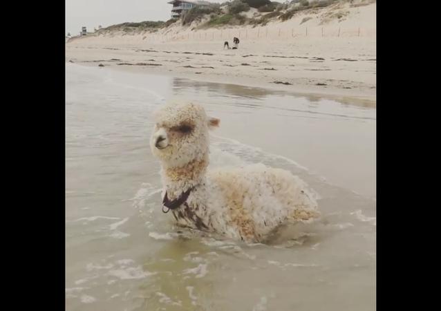A rising tide lifts all alpacas
