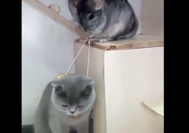 Сhinchillas Make Fun of Cat