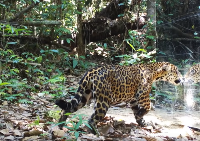 'Who's That Cat?' Mirror Frightens, Delights Rainforest Wildlife