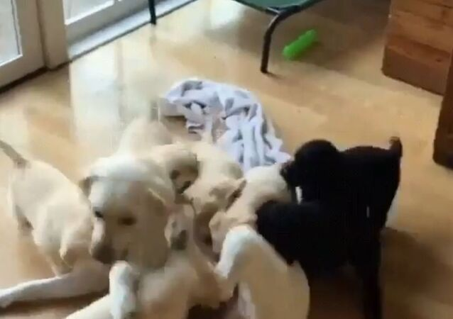 Catch Me if You Can: Golden Retriever Mom Plays With Puppies