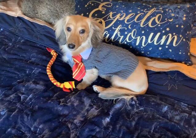 Remus the dog