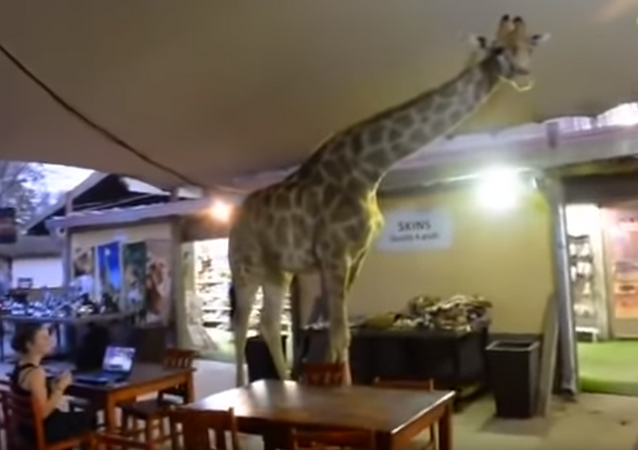 Patrons Rubberneck as Giraffe Saunters Through South African Restaurant