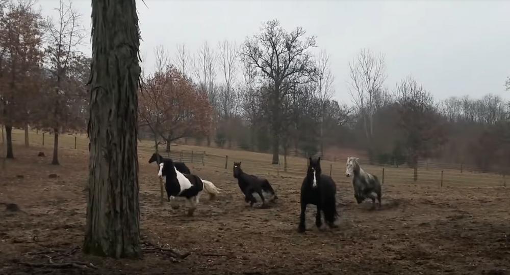 Hungry Horses Rush Morning Feed Wagon