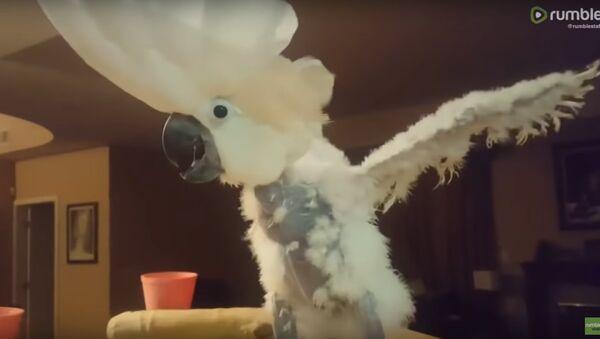 Cockatoo throws a tantrum after being denied a donut - Sputnik International