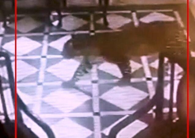 Leopard enters hotel lobby in Mussoorie