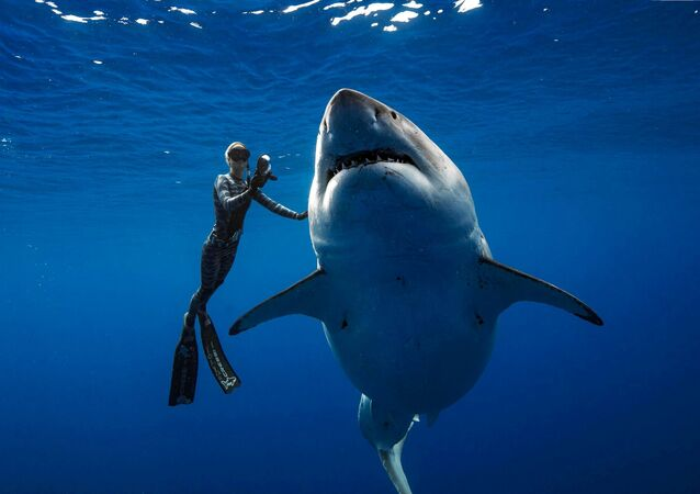 A shark said to be 'Deep Blue', one of the largest recorded individuals, swims offshore Hawaii, U.S., January 15, 2019 in this picture obtained from social media on January 17, 2019.