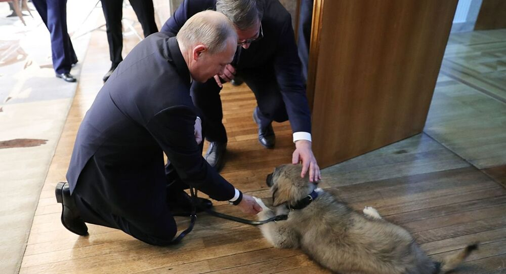Presidents Putin and Vucic admire Pasha, a Yugoslavian Shepherd Dog, which the Serbian president gifted his Russian counterpart during his official visit on Thursday, January 17, 2019.