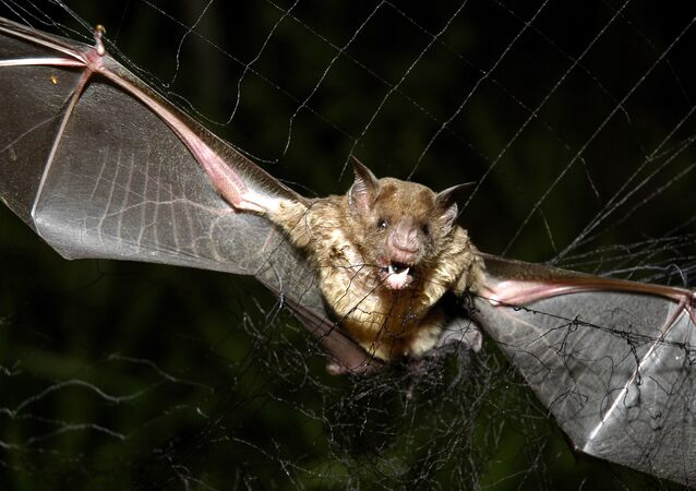 A vampire bat is caught in a net in Aracy, in the northeast Amazon state of Para, Brazil, on Thursday, Dec. 1, 2005. The bat is being studied for research by assistants at the Goeldi Museum Research Institute of Belem.