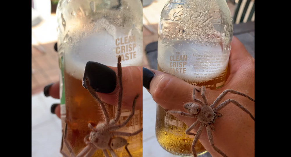 Cracking Open a Cold One With … A Huntsman Spider?!