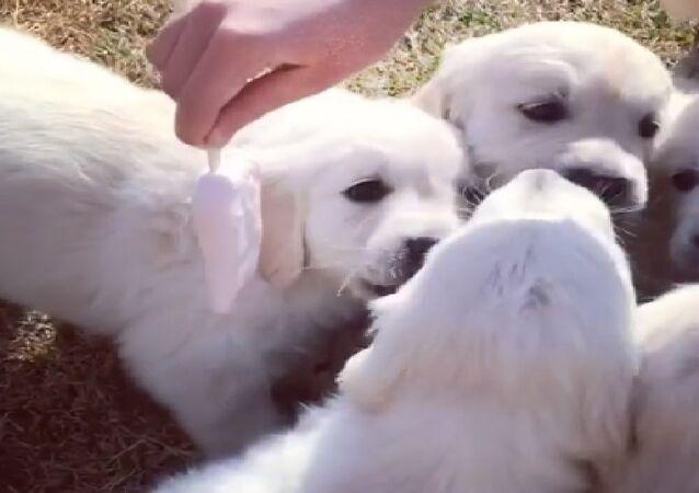 Ice cream puppies