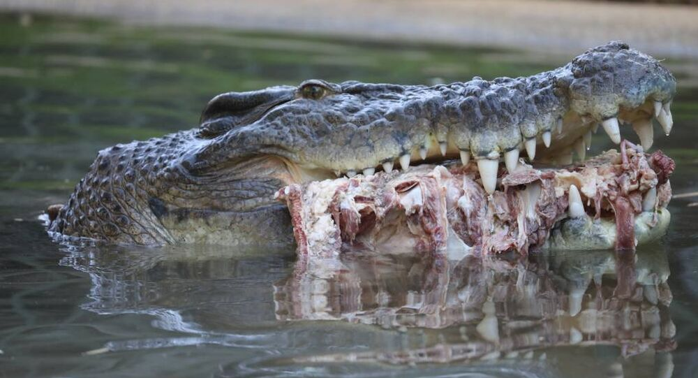 Northern Territory-born Elvis became known as Australia's crankiest crocodile in 2011 when he ate his keeper's lawnmower