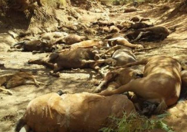 Horses die in Australia due to heat wave