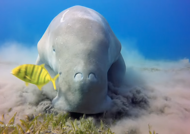 Chow Now, Sea Cow: Endangered Dugong Feasts on Ocean's Floor