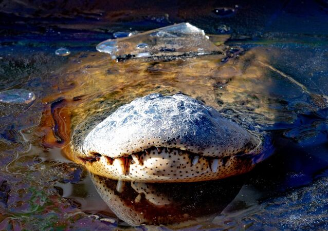'Semi-Shutdown': US Alligators Go Dormant, Turn Snouts Up in Frozen Swamp