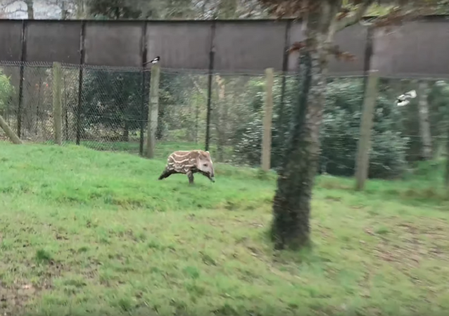 South American Tapir Calf Frolics With Magpies
