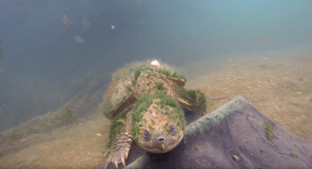 Elderly, Algae-Covered Snapping Turtle Greets Conservation Crew