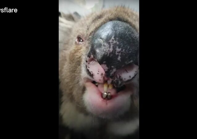 LiveLeak - Still think they're cute Koala roar sounds like massive burb