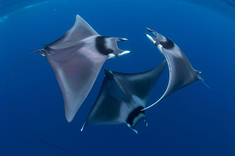 Japan's Devil Rays Captured for the Shot Devil Ray Ballet Win 7th Annual Ocean Art Underwater Photo Contest
