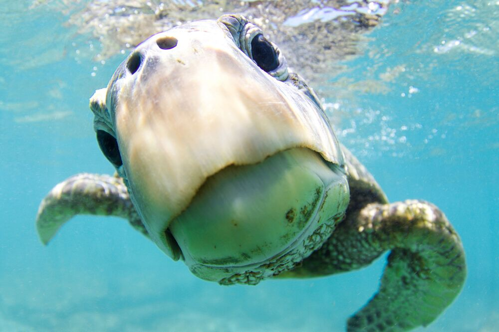 Green Sea Turtle at the Shot Curiosity Wins Honorary Award in Portrait Category at 7th Annual Ocean Art Underwater Photo Contest