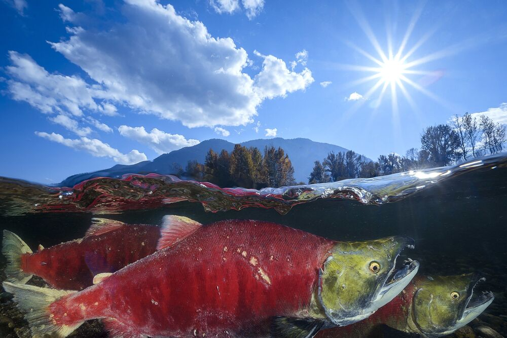 Sockeye Salmon Captured for the Shot  Pacific Red Sockeye That Won Honorary Award in Wide-Angle Category at 7th Annual Ocean Art Underwater Photo Contest