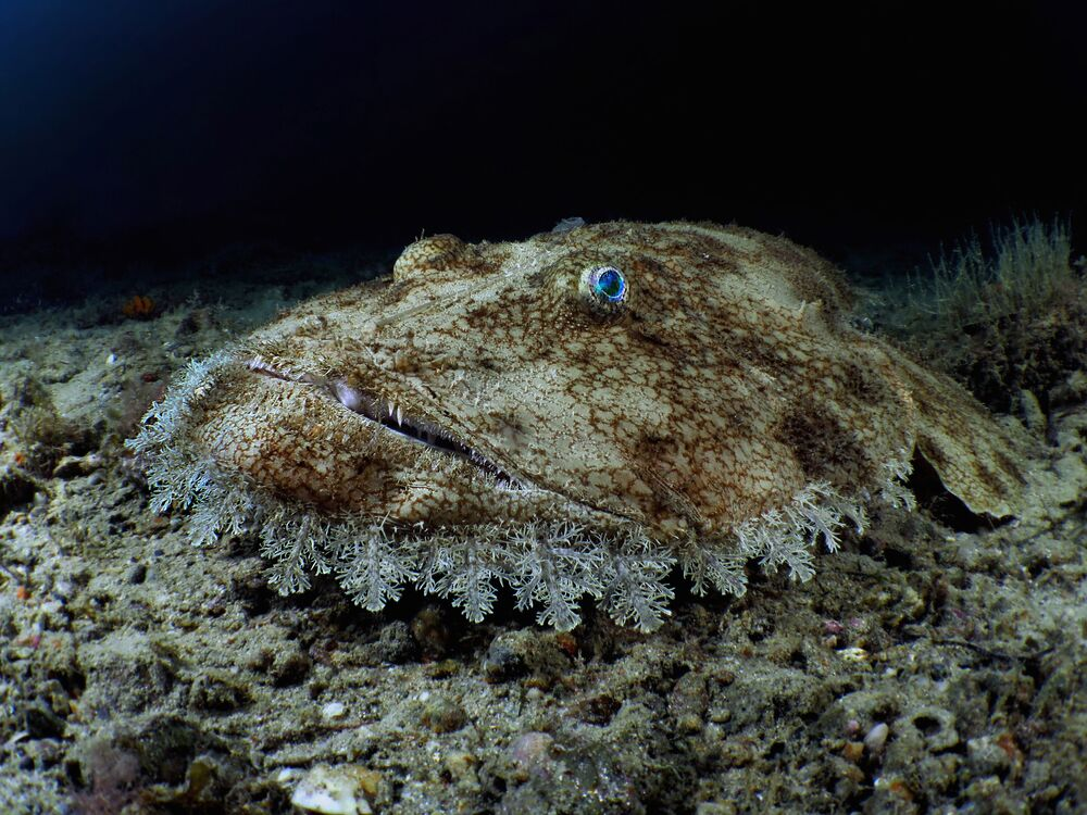 European Budego Captured for the Shot Budego That Won Third Prize in Compact Wide-Angle Category during 7th Annual Ocean Art Underwater Photo Contest