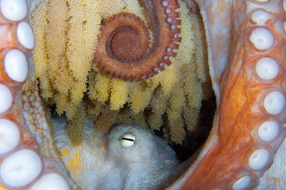 Octopus Captured for the Shot New Life That Won 5th Prize in Marine Life Behavior Category at 7th Annual Ocean Art Underwater Photo Contest