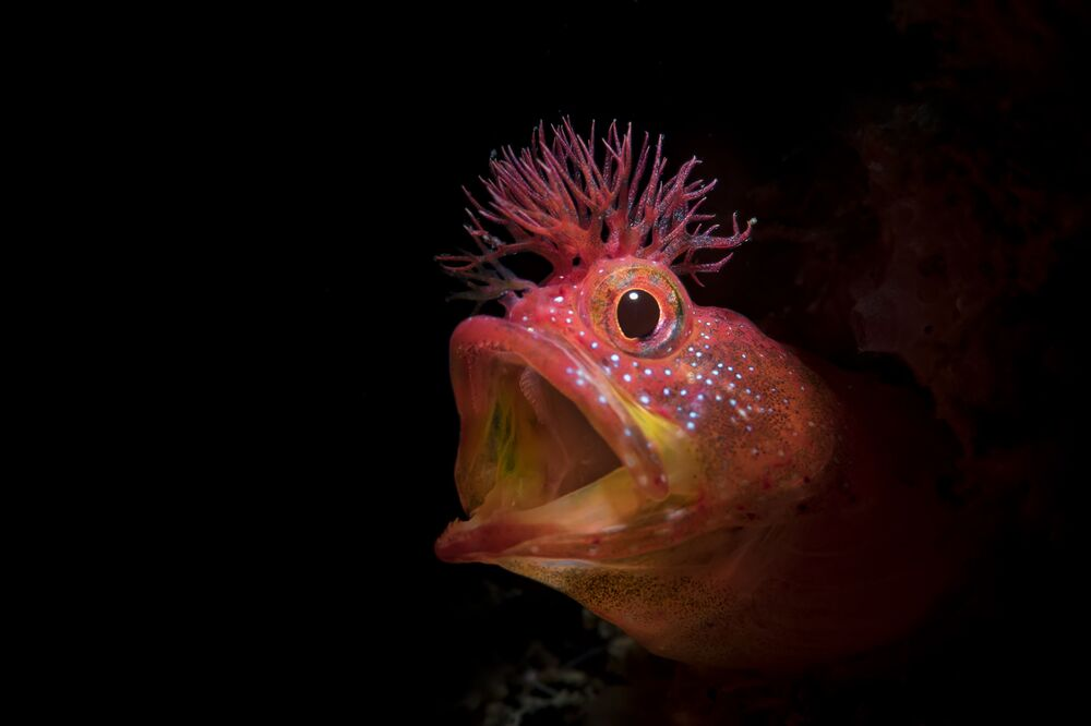 Chaenopsid Blenny Fish Captured for the Shot Roar That Won Honorary Award at 7th Annual Ocean Art Underwater Photo Contest