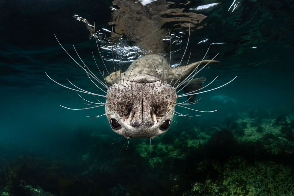 Grey Seal Face Won First prize in Cold Water Category at 7th Annual Ocean Art Underwater Photo Contest