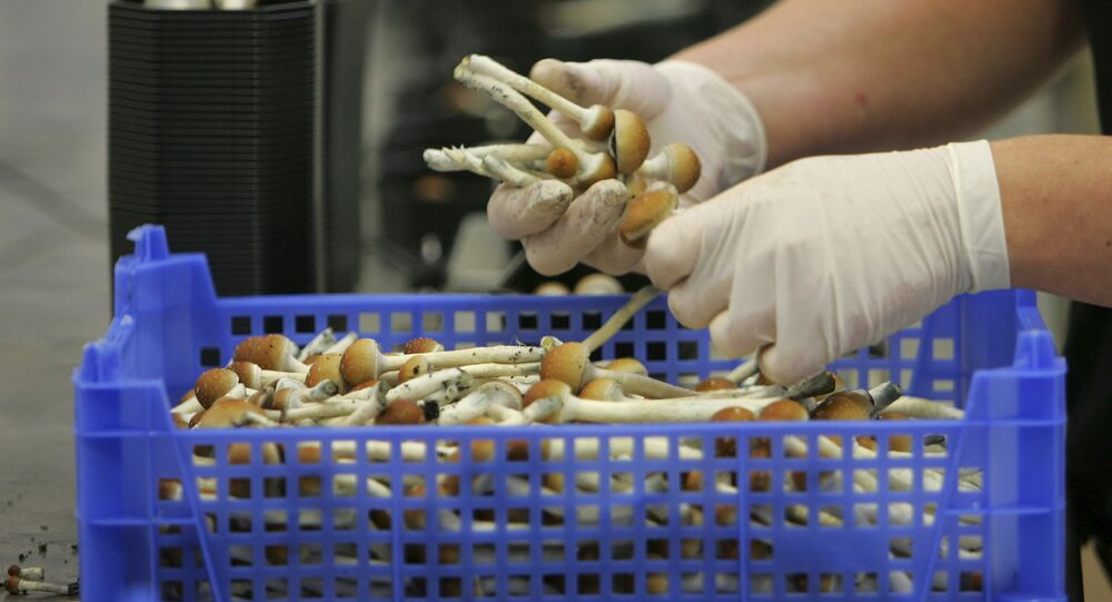 Magic mushrooms weighed and packaged at the Procare farm in Hazerswoude, central Netherlands