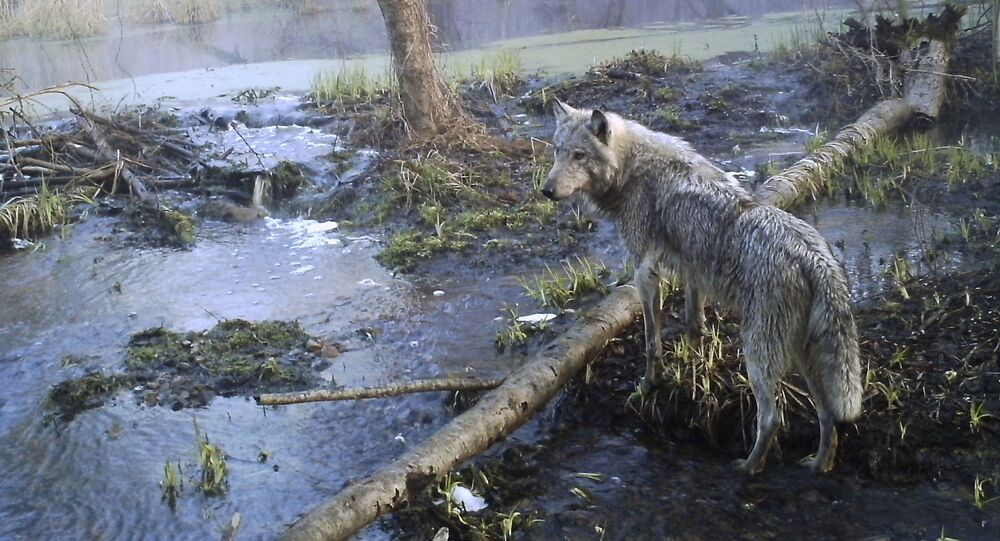 This April 2012 photo shows a wolf in a forest within the Chernobyl Exclusion Zone; elk, deer, wild boar, wolves and even wild horses now roam free where some 20,000 people once lived.