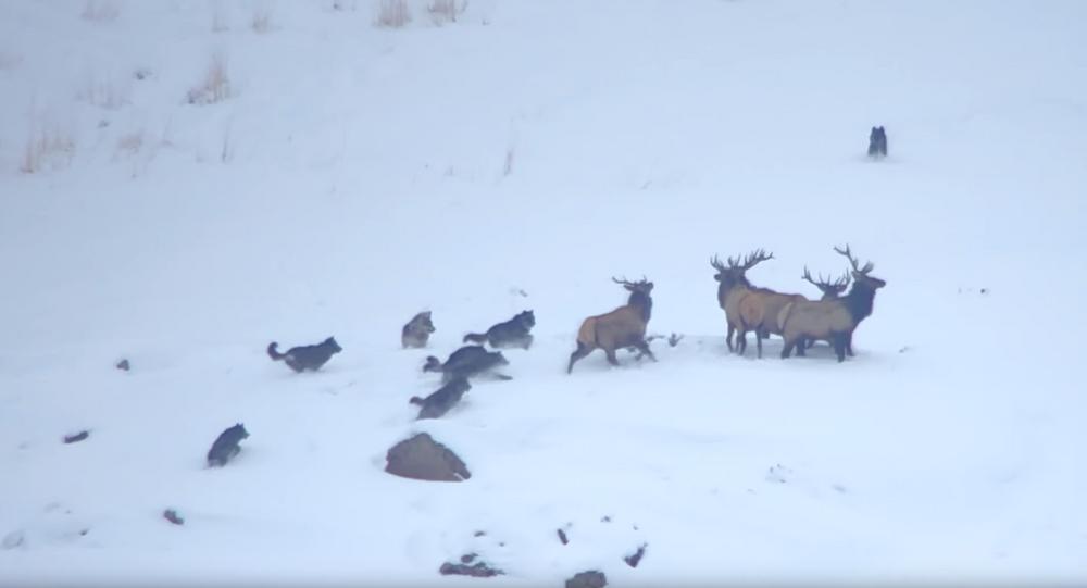 Elk Evade Wolves, Achieve Higher Ground During Snowy Showdown