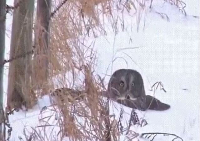 Owl Dives Headfirst in the Snow