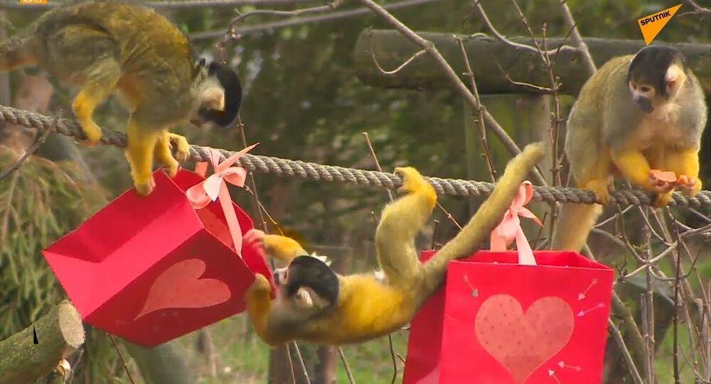 UK: Monkeys Get Valentine's Day Treats at Dunstable Zoo