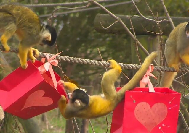 UK: Monkeys Get Valentine's Day Treats at Dunstable Zoo