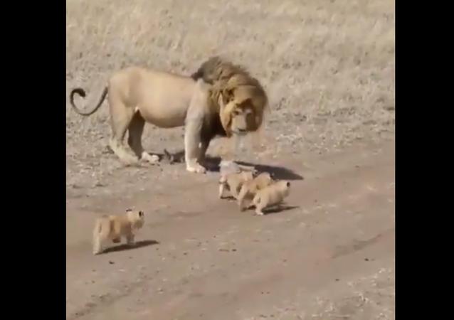 Lion and lion cubs