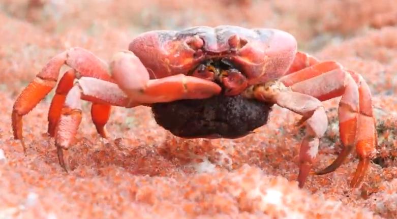 Cannibal Crab Eats Babbies