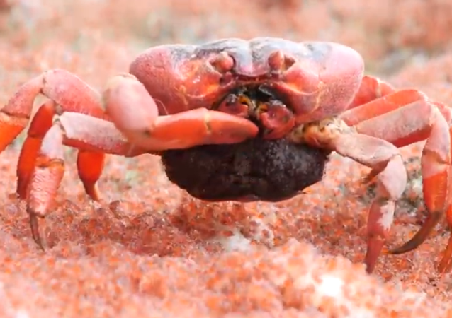Cannibal Crab Eats Babbies