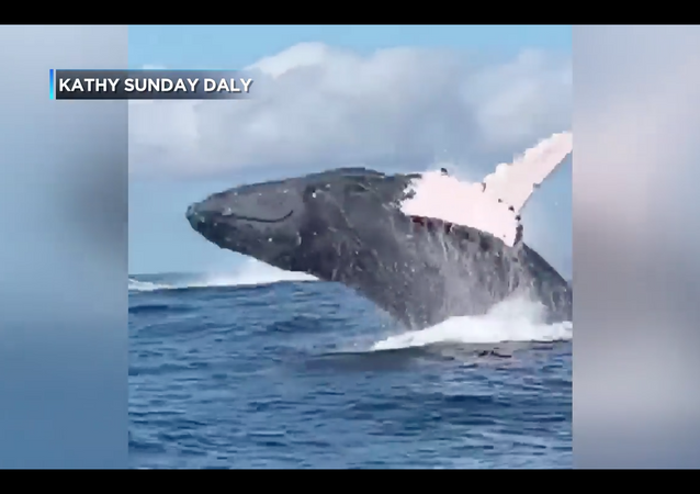 Paddle Boarders Witness Multiple Whale Breachings Mere Meters Away