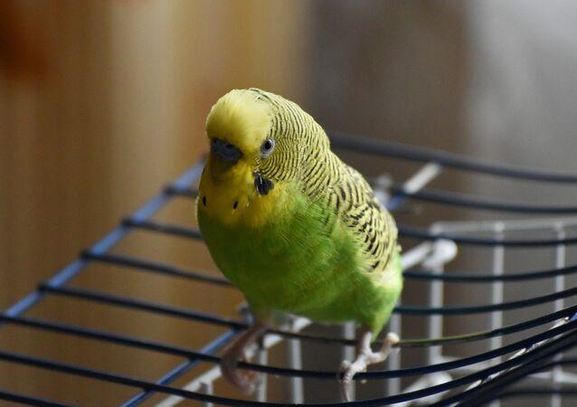 Wavy parrot