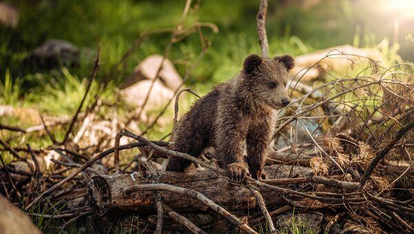 Bear cub - Sputnik International