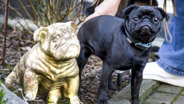 In this Wednesday, Feb. 27, 2019 photo pug dog Edda is pictured in Duesseldorf, Germany. Officials in Germany are defending their decision to seize an indebted family's pet pug and sell it on eBay, saying the move was a last resort because authorities were unable to find anything else to take. - Sputnik International