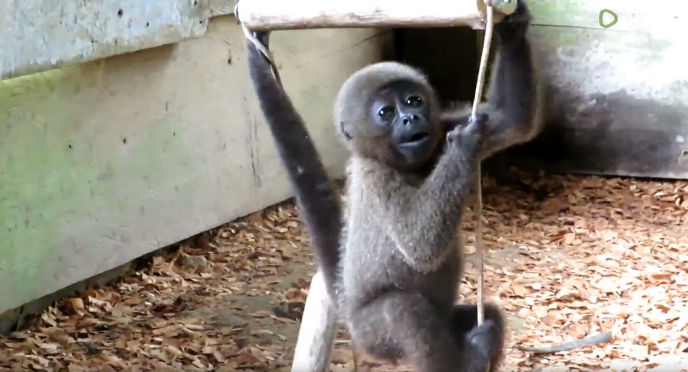 Second Chance: Baby Woolly Monkey Rescued From Black Market