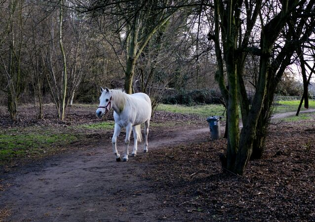Arabian mare Jenny in Frankfurt, Germany