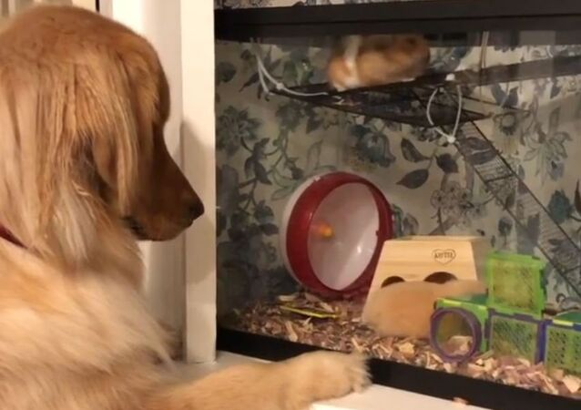 Golden Retriever is too Into Hamsters